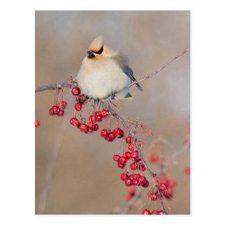 Bohemian waxwing in winter, Canada Postcard