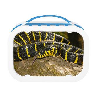 Boiga dendrophila or mangrove snake lunch box