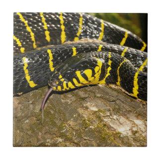 Boiga dendrophila or mangrove snake tile