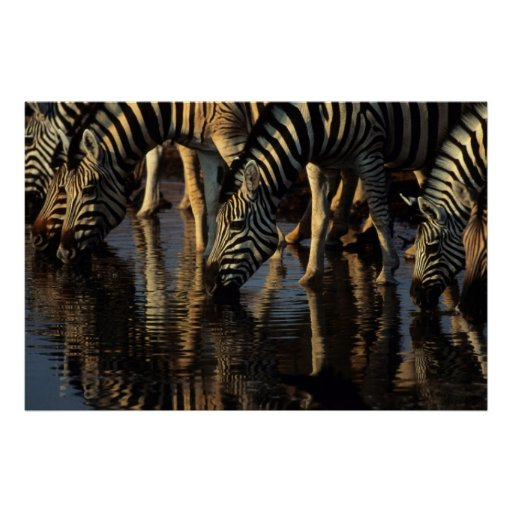 Boire de troupeau de zèbres de plaines (Quagga Affiche