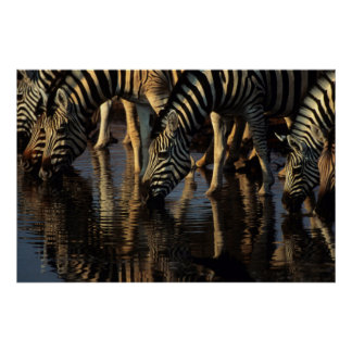 Boire de troupeau de zèbres de plaines (Quagga Poster