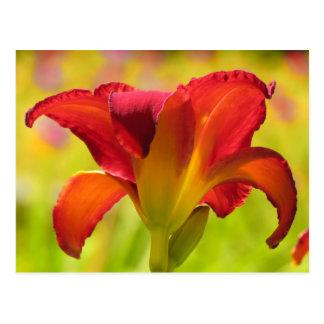 Bold Lily - Daylily Postcard