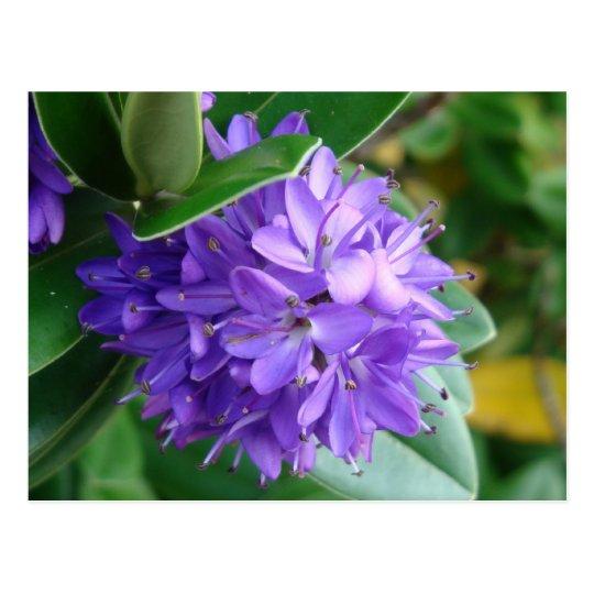 Bold purple flower at Clifden, Ireland Postcard
