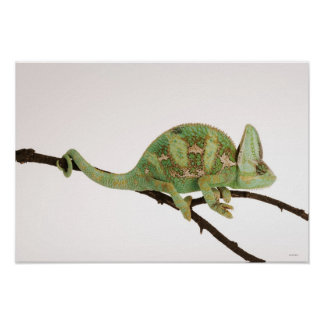 Boldly coloured chameleon with characteristic 2 poster