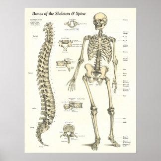 Bones of the Skeleton & Spine Anatomy Poster