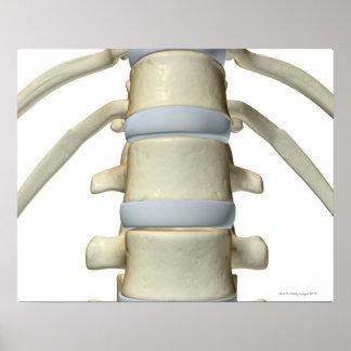 Bones of the Vertebral Column Poster