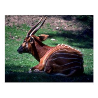 Bongo Postcard