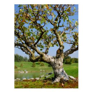 Bonsai Alba birch Postcard