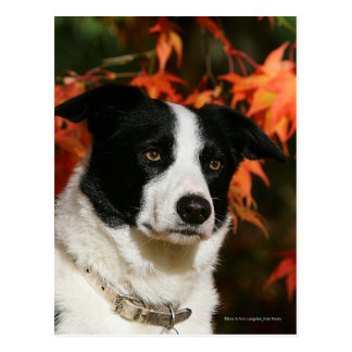 Border Collie Autumn Headshot Postcard