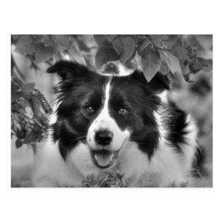 Border Collie Dog Postcard