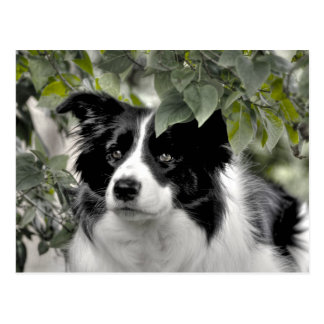 Border Collie girl Postcard