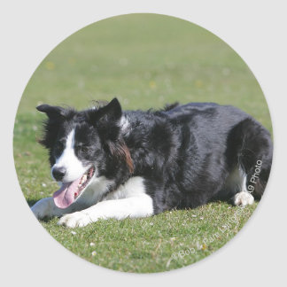 Border Collie Laying Down Round Sticker