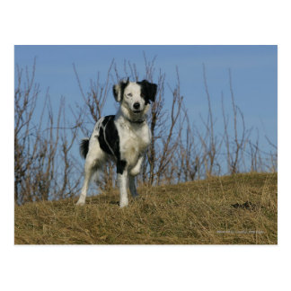 Border Collie Leg Raised Postcard