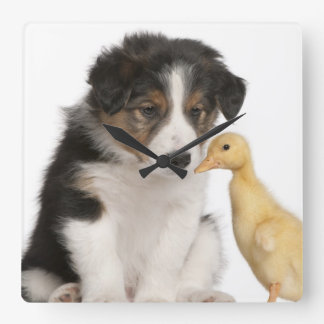 Border collie puppy (6 weeks old) with duckling square wall clock