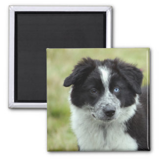 Border Collie puppy dog fridge magnet, gift idea Square Magnet