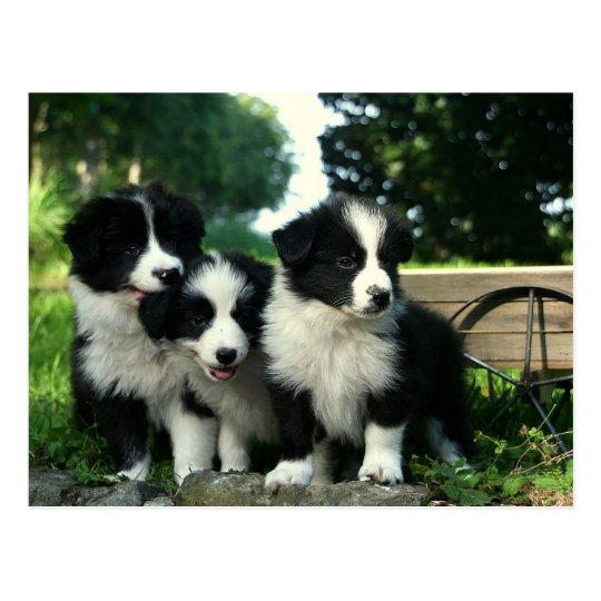 Border Collie Puppy Dog - Hello, Thinking of You Postcard