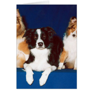 Border Collie & Shelties Card