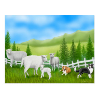 Border Collies & Sheep Postcard