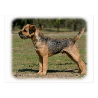 Border Terrier 9Y325D-033 Postcard