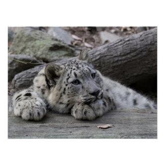 Bored Snow Leopard Cub Perfect Poster