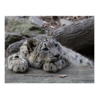 Bored Snow Leopard Cub Poster
