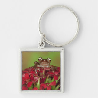 Borneo. Close-up of Cinnamon Tree Frog on red Silver-Colored Square Keychain