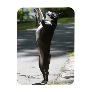 Boston Terrier 2 Magnet