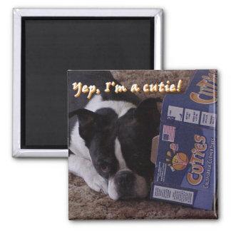 Boston Terrier:  Cutie Magnet