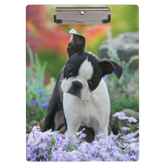 Boston Terrier Dog Cute Puppy Portrait Photo - on Clipboards