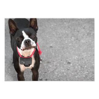 Boston Terrier Dog Custom Announcement
