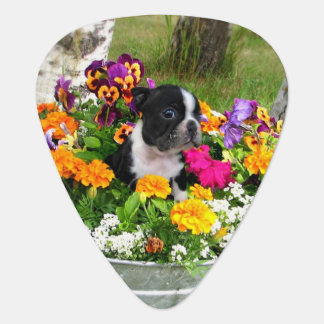Boston Terrier dog Pick