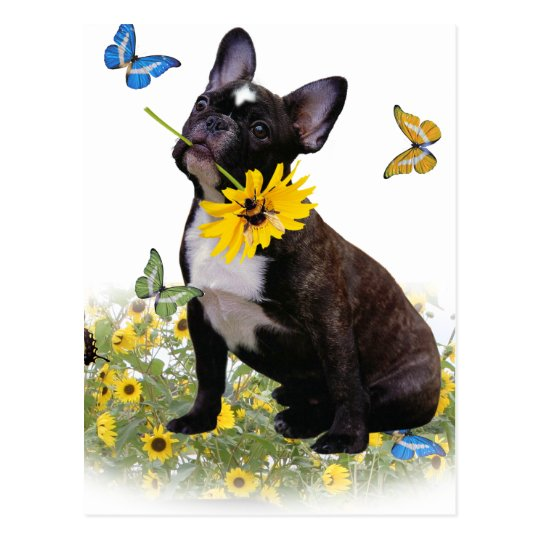 Boston Terrier Holds Daisy Postcard