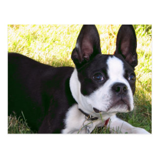 Boston Terrier Pup Postcard