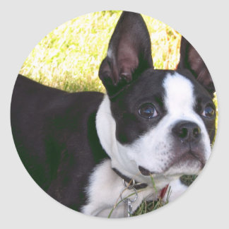 Boston Terrier Pup Stickers