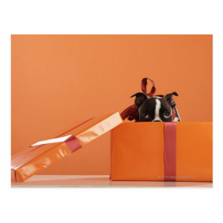 Boston terrier puppy in gift box postcard