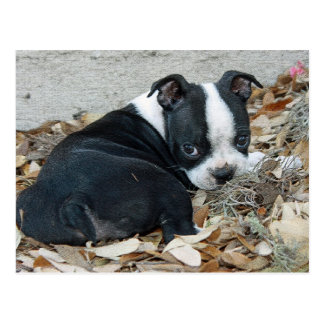 Boston Terrier Puppy Postcard