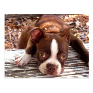 Boston Terrier Sympathy Card