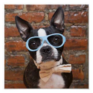 Boston Terrier Wearing Sunglasses And A Bow Tie Poster
