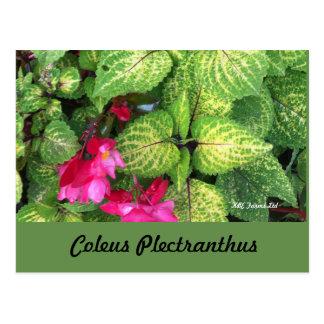 Botanical  Coleus Plectranthus Postcard
