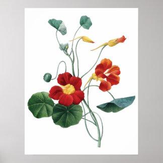 Botanical PREMIUM QUALITY print of nasturtium