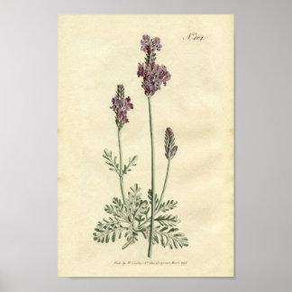 Botanical Print - Lavender