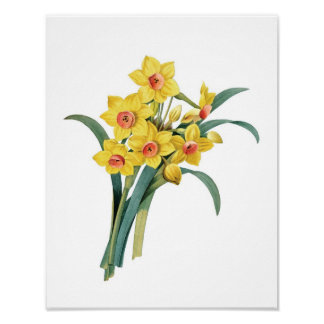 Botanical print of DAFFODILS original by Redoute