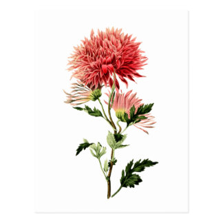 Botanical Red Bachelor Button Postcard