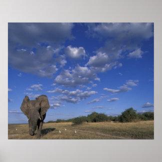 Botswana, Chobe National Park, Charging Elephant Poster