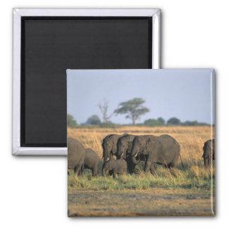 Botswana, Chobe National Park, Elephant herd Square Magnet