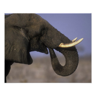 Botswana, Moremi Game Reserve, Bull Elephant Poster