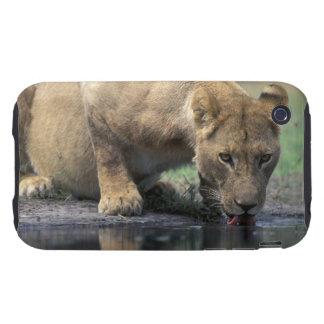 Botswana, Moremi Game Reserve, Lioness (Panthera 2 iPhone 3 Tough Cover
