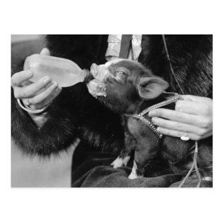 Bottle Feeding the Pet Piglet Postcard