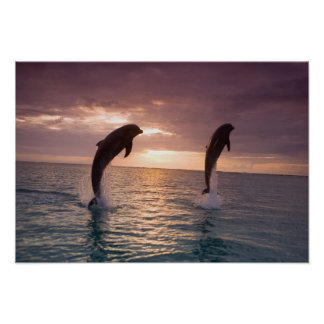 Bottlenose Dolphins Tursiops truncatus) 15 Poster