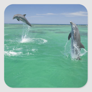Bottlenose Dolphins Tursiops truncatus) 17 Square Sticker